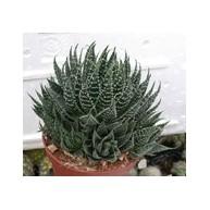 Aloe aristata 7cm