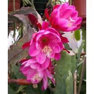 Epiphyllum Augusta von Szombathy