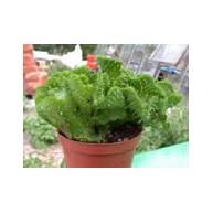 Euphorbia flannagannii cristate 5cm pots