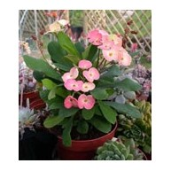 Euphorbia millii f. Rosalie