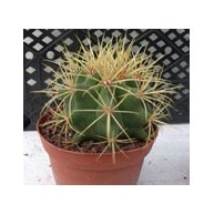 Ferocactus glaucescens 9cm pot