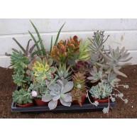 Wedding favours Succulents in 6.5cm pots