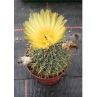 Notocactus buiningii 8.5cm pot