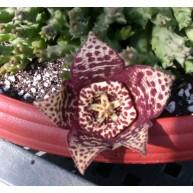 Stapelia variegata f. minima