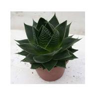 Aloe Cosmo 8.5cm pot