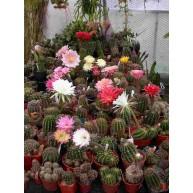 Echinopsis X Cactus Shop Hybrids