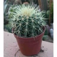 Echinocactus grusonii 9cm pots