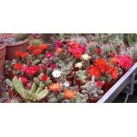X Chamaelobivia Cactus Shop hybrid