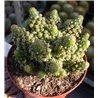 Cactus in 9cm pot