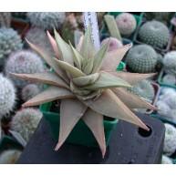Haworthia limifolia v. ubomboensis ISI 75 9cm pot