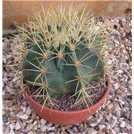 Ferocactus glaucescens 13cm bowl