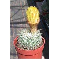 Notocactus concinnus 6cm pots