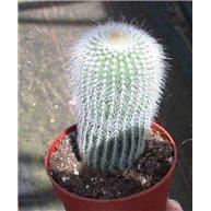 Notocactus leninghausii f. albispinus 6cm pot