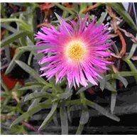 Carpobrotus edulis f. pink flowers