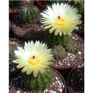 Notocactus ottonis 9cm pot