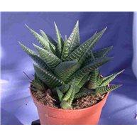 Haworthia limifolia 9cm pot