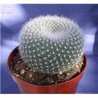 Notocactus haselbergii 9cm pot