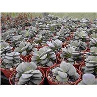 Crassula Morgans Beauty 5cm pots