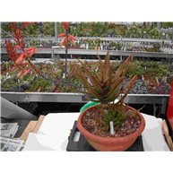 Aloe iolwensis 32cm bowl