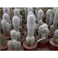 Cleistocactus strausii 13cm pots