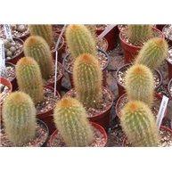 Haageocereus versicolor 9cm pots