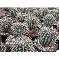 Notocactus mammulosus 10cm pot