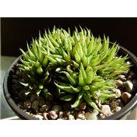 Haworthia angustifolia liliputana