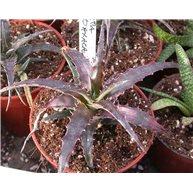 Hechtia sp. Oaxaca