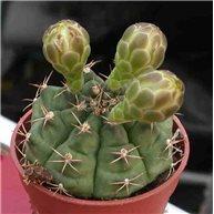 Cactus in 6.5cm pot