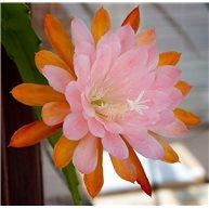 Epiphyllum American Girl