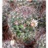 Mammillaria kunzeana