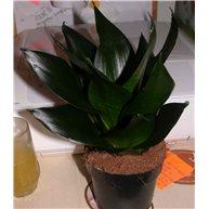 Sansevieria trifasciata Black Tarragon