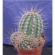 Echinopsis 10cm pot