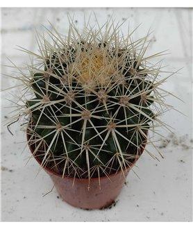 Echinocactus grusonii 5cm