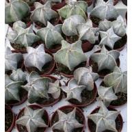 Astrophytum myriostigma 5cm pots