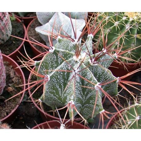 Astrophytum ornatum 8.5cm pots