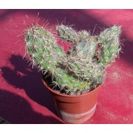 Corynopuntia emoryii (stanlyi)