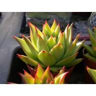 Echeveria Lipstick 10.5cm pots