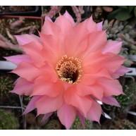 Echinopsis Beautiful Dreamer
