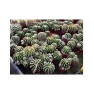 Echinopsis Cactus Shop Hybrid 9cm pots