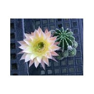 Echinopsis Cheam Cream