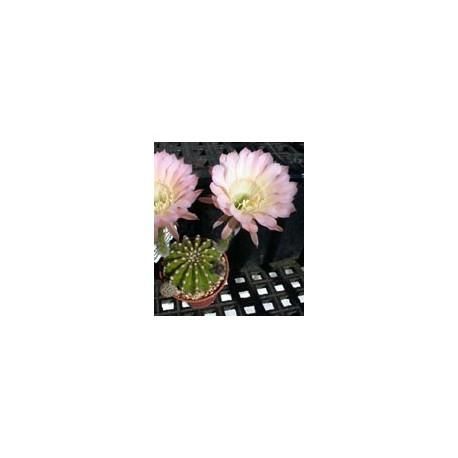Echinopsis Edwardian Lady ISI 98-8