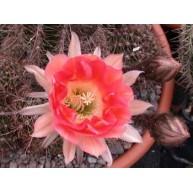 Echinopsis Emberglo CS23