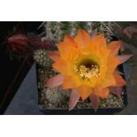 Echinopsis Peace Rose X