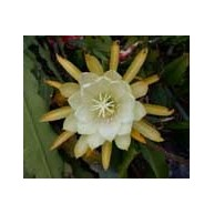 Epiphyllum Binn s Yellow