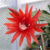 Epiphyllum Bonanza Belle