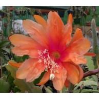 Epiphyllum Carnival