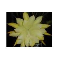 Epiphyllum Clarence Wright