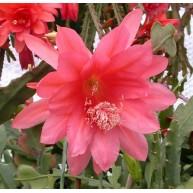 Epiphyllum Coral Caress