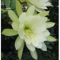 Epiphyllum Cornish Cream